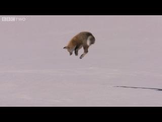 BBC Лис охотится на мышку