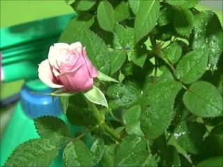 Комнатные розы. Как выращивать комнатные розы. Уход за комнатными розами