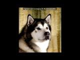 """«Хаски» под музыку Enigma - Песня о хаски (из фильма """"белый плен""""). Picrolla"""