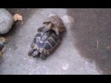 Как черепахи занимаются любовью...