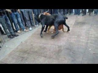 Собачьи бои кане корсо vs питбуль