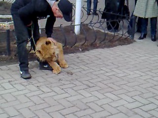 Lion Pet in Sumy
