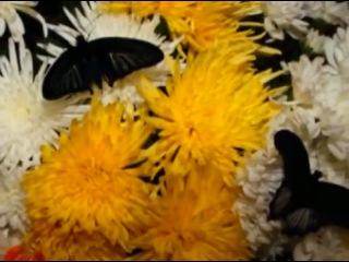 живые тропические бабочки на свадьбе!!