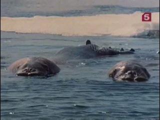 Подводная одиссея команды Кусто: Улыбка моржа. 1973.
