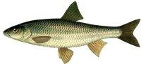 Изображение рыбы Елец.