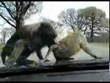 обезьянки эксбиционисты