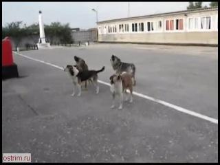 Собаки дружно поют под гимн России