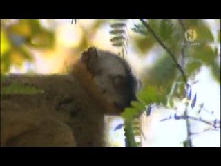 Лемуры - таинственные обитатели Мадагаскара / Lemurs - a forest full of ghosts оn Madagascar (2008)
