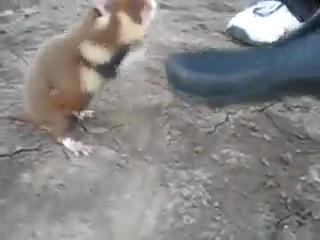 Бешенный бойцовский хомяк
