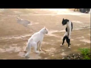 Кот-каратист, обладающий чёрным поясом 10-го дана