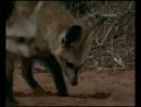 Намибийские большеухие лисицы / Namibias bat-eared foxes 2006
