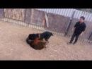 Собачьи бой Тибетский мастиф vs САО