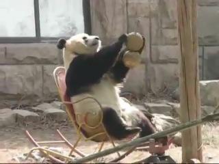 Панда качается в кресле-качалке