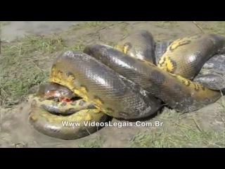 Анаконда vs Крокодил(кайман)
