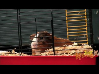 Farting Guinea Pig - Just Kidding Hidden Camera Prank