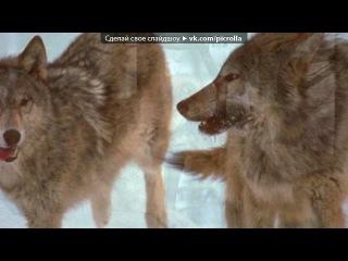 «Красивые Фото • fotiko.ru» под музыку Собачья жизнь с глазами волка - Если это есть волчья доля - Умирать в снегу от боли, Я её приму на воле!!. Picrolla