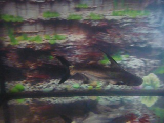 ЧЕЛЮСТИ-2012(акулий сом в действии...)