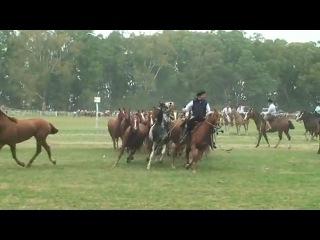 Выводка - показ лошадей по-креольски. Лошади породы Креолло