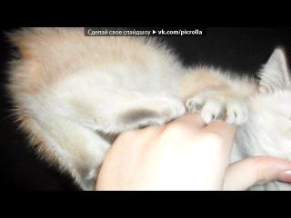 наше голубоглазое чудо под музыку Fleur - Теплые коты radioedit Очень позитивная песенка про кошек.