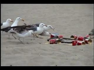 Seagulls on laxatives prank