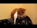 Кот, котик, попугай, смешно, ржака, прикол, смех, смешно, до слез, попугай пристает к коту :)