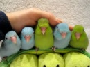 5 peas in a pod - parrotlets 5 weeks old