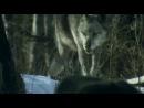BBC: хищник на тропе войны. Волк