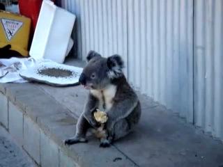 Sad koala eats an apple, looks back on his life.(грусная коала ест яблоко и думает о своей прошлой жизни)