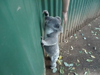 Славный мишка коала 2