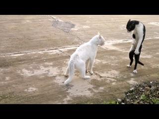 Кот в позе кобры :)