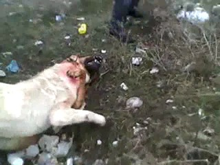 Собачьи бои Алабай против Тоса ину