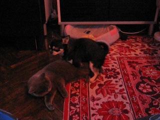 мои собачка и кошка, обе сучки