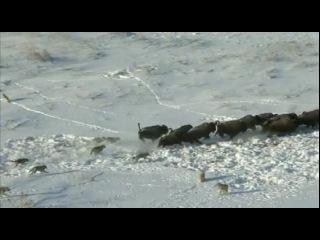 Видео - охота волков на бизонов