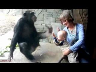 злая обезьяна за стеклом