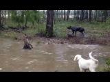 бой собаки с чупакаброй