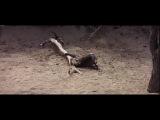 Пьяные животные Док.фильм. (Фрагмент о плодах дерева марула)