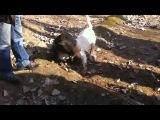 собачьи бои бультерьер VS  питбуль