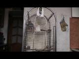 Говорящий попугай Гриша лает и смеется - Приглашаем дружить с Григорием - в[[164090916]]