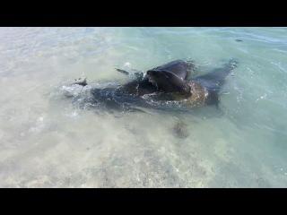Морские котики на экваторе. Галапагосские острова.