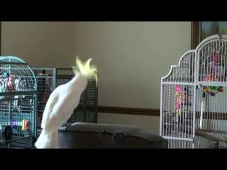 Какаду танцует под Майкла Джексона:)