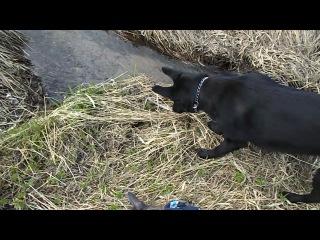 восточноевропейская овчарка пытается познакомиться с водяной крысой