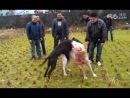 собачьи бои питтбуль против волкодава