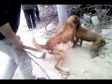 Собачьи бои питбуль vs дог (не немецкий)