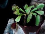 цветок плотоядный-трапеза