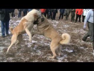 Собачьи бой akbar vs kangal bleki