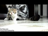 Fail and win Kittens from Chorus Line ( funny Cats Video Compilation)