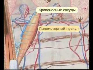 Кожа - это сложно! Строение и функционирование клеток кожи!