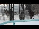 Волчья песня в Новосибирском зоопарке, 21.02.13г.