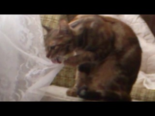 Кошка Жужа лижет шторку