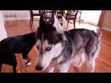 Husky Dog Duet - Mishka & Laika.mp4